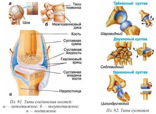 Соединения костей суставы, строение, значение артрит коленей тазобедренных суставов