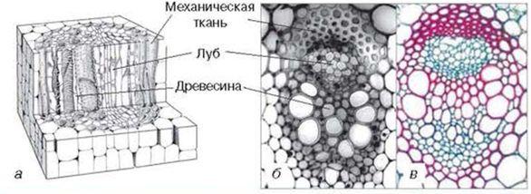 Схема строения (а), поперечный
