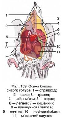 Схема будови сизого голуба