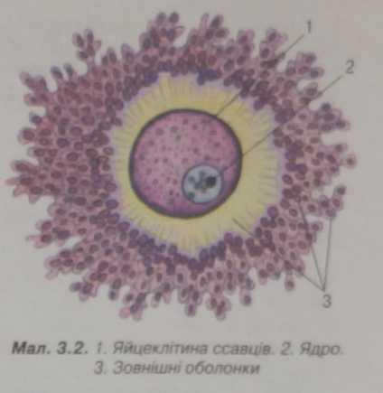 Яйцеклітина ссавців
