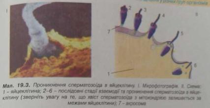 Проникнення сперматазоїдів в яйцеклітку