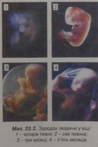Зародок людини