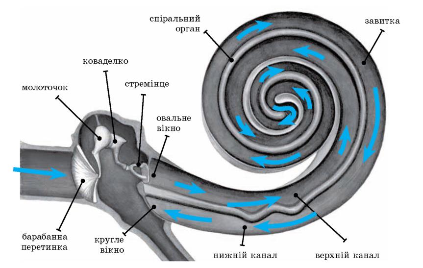 Схема поширення звукових хвиль у вусі людини