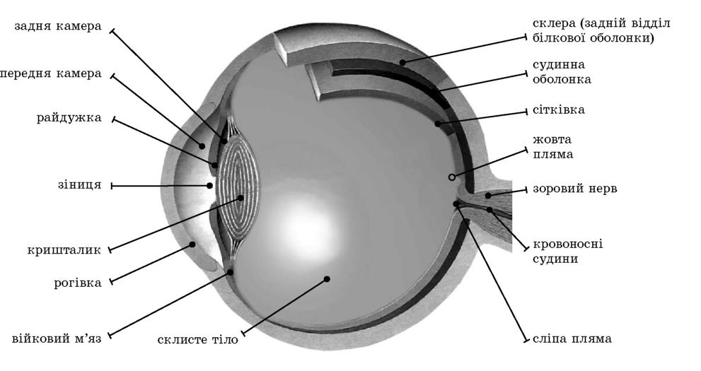 Будова зорового аналізатора
