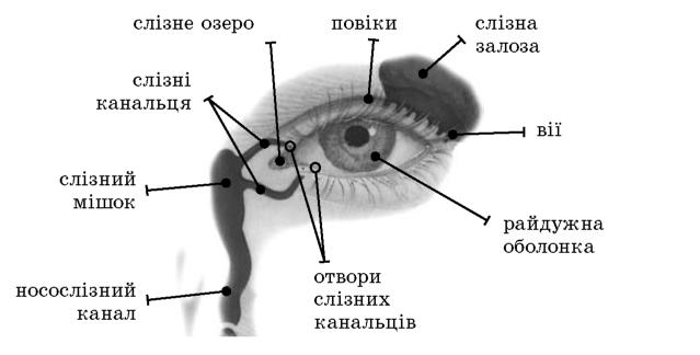 Характеристика допоміжного апарату ока