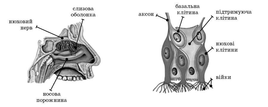 будова органу нюху, нюхового аналізатору