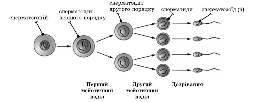 Характеристика стадий в сперматогенезе биологическое значение советую