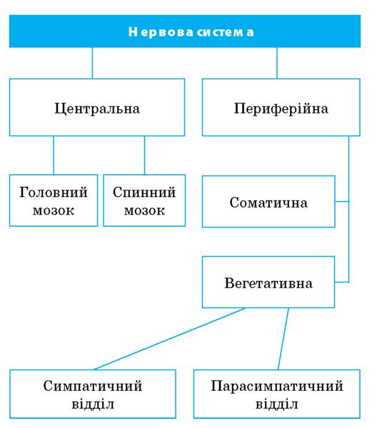 Структура нервової системи людини