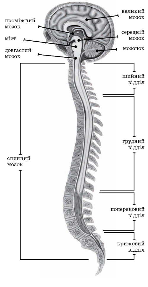 будова центральної нервової системи людини