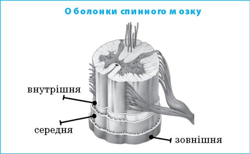 оболонки спинного мозку