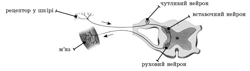 Рефлекторна дуга