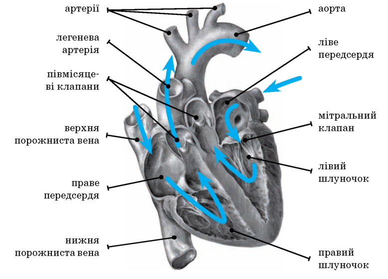 Будова та функції органів кровообігу.