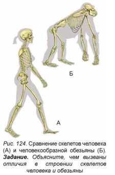 Строение тазобедренного сустава человека и обезьяны тренажёр коленного сустава
