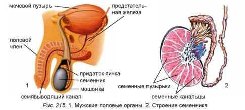 Секретом половых желёз есть сперма