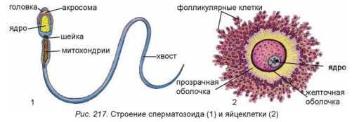 zhenskie-i-muzhskie-spermatozoidi