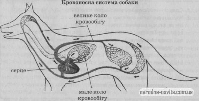 Кровоносна система собаки