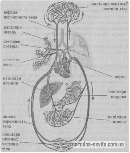 схема кровообігу (мале та велике коло)