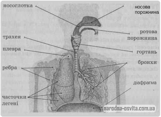 будова дихальної системи людини