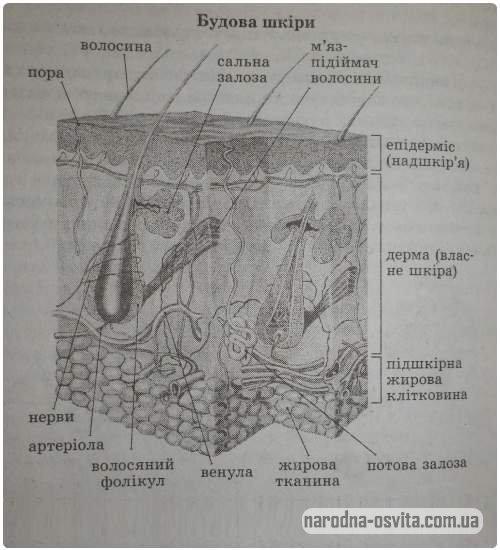 будова шкіри, схема