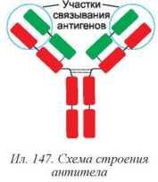Специфический иммунитет организма