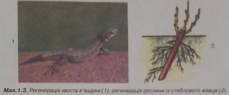 Регенерація хвоста ящірки