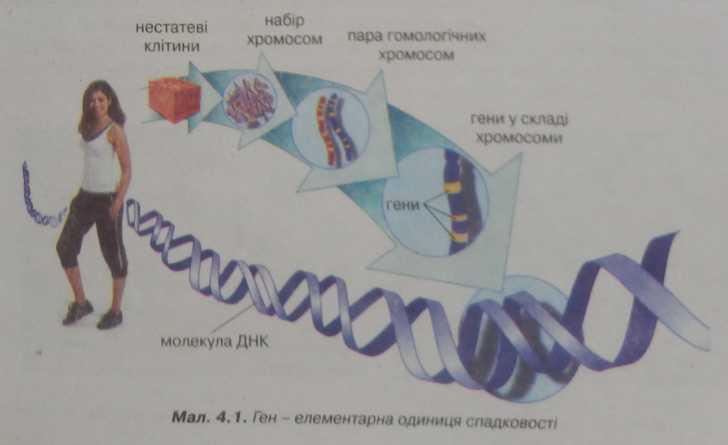 ген - елементарна одиниця спадковості