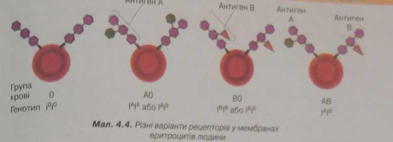 варіанти рецепторів у мембранах еретроцитів людини