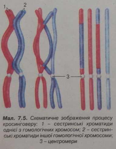 схематичне зображення процесу кросинговеру