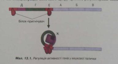 регуляція активності генів у кишкової палички