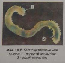 Багатощетинний черв