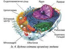 2. Різноманітність клітин організму людини. Тканини » Народна Освіта
