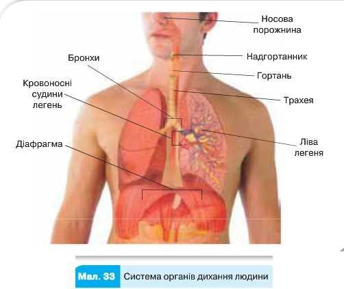 Система дихання органів людини